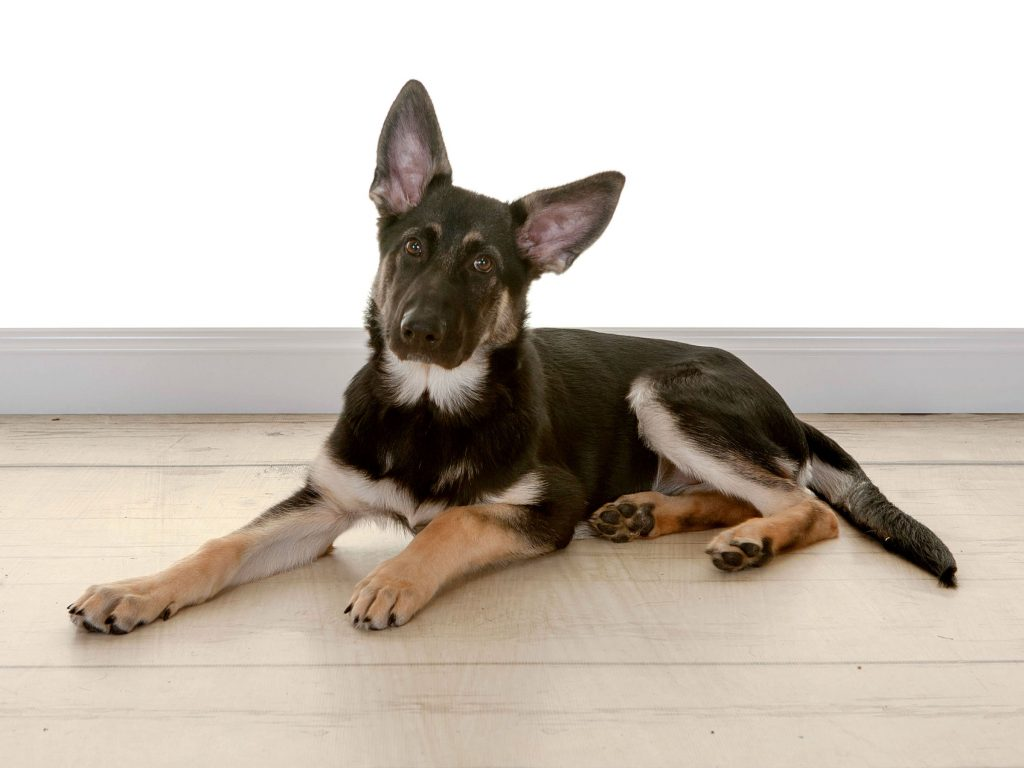 german shepherd Bonnie
