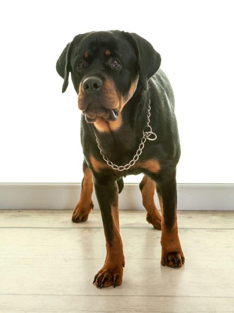 Bruno the rottweiler