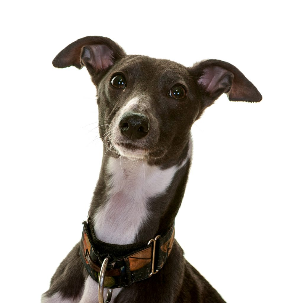 Buddy the small whippet