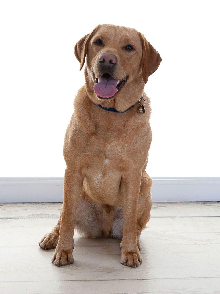 labrador dog Burt