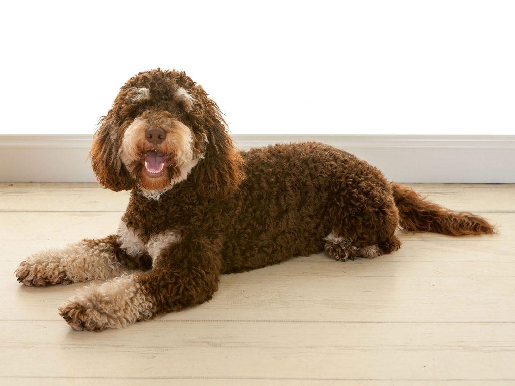Charlie dog lying on the studio floor