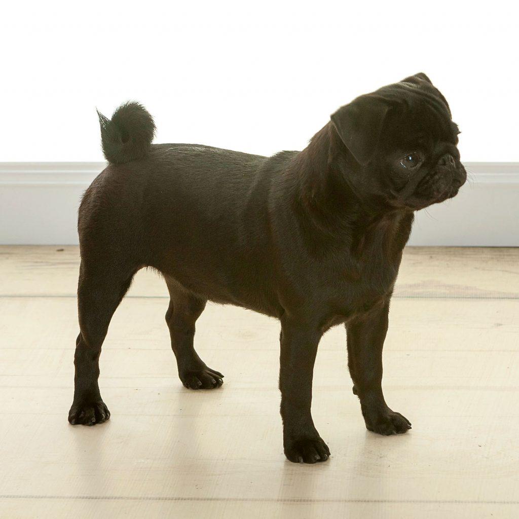 Black small dog during photoshoot