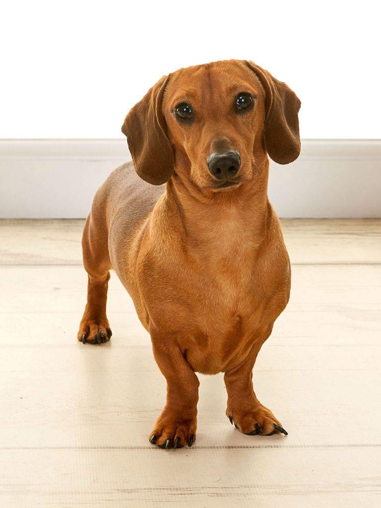 A posh sausage dog called Duke