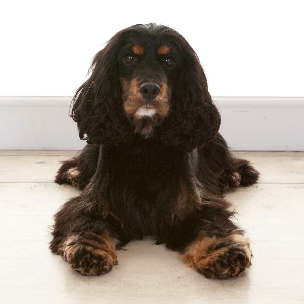 spaniel dog with fluffy body