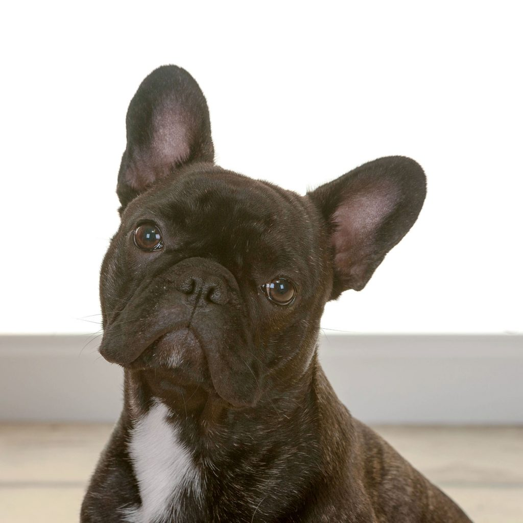 Gizmo the small french bulldog