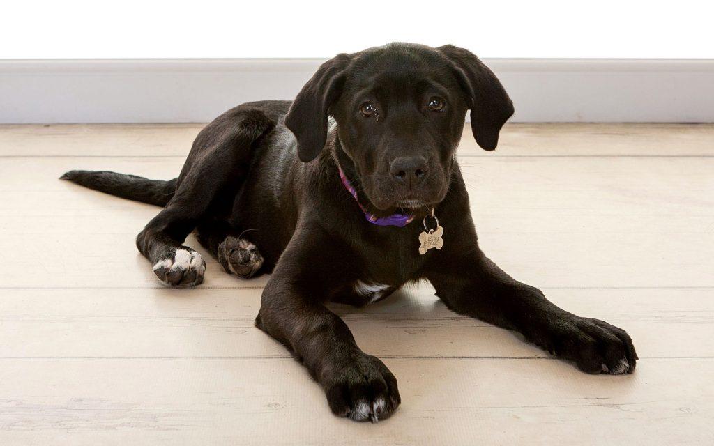 a lovely cute black labrador puppy
