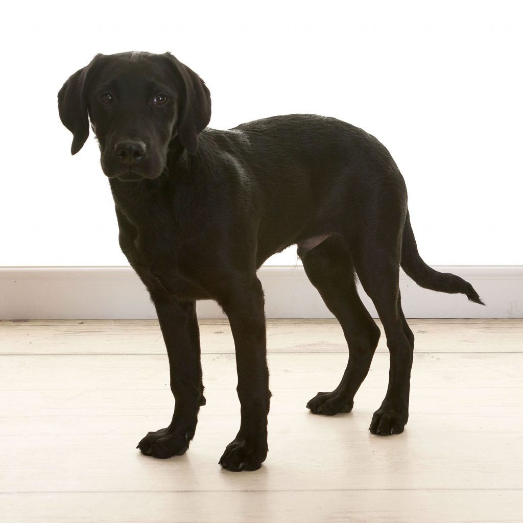 black labrador puppy having a professional photoshoot in Newcastle