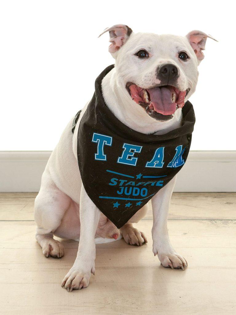 staffie dog wearing a judo bandana