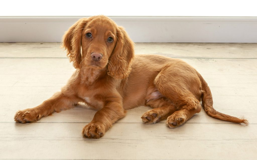 Kenzo a little puppy spaniel