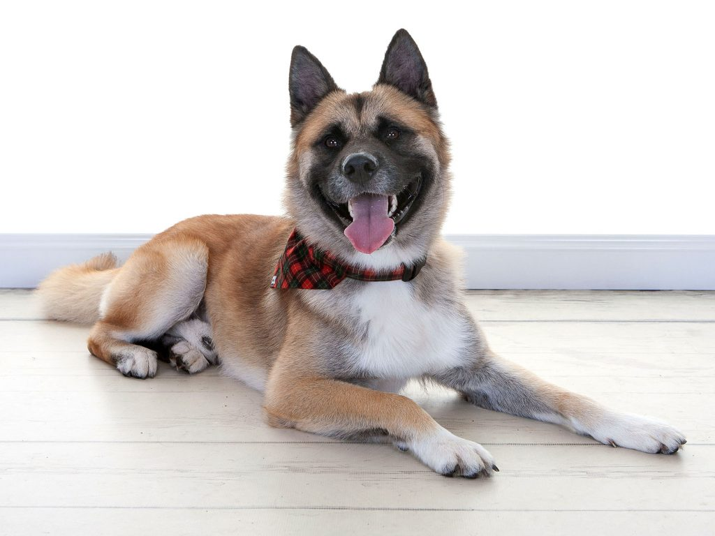 cute fluffy dog with pointy ears