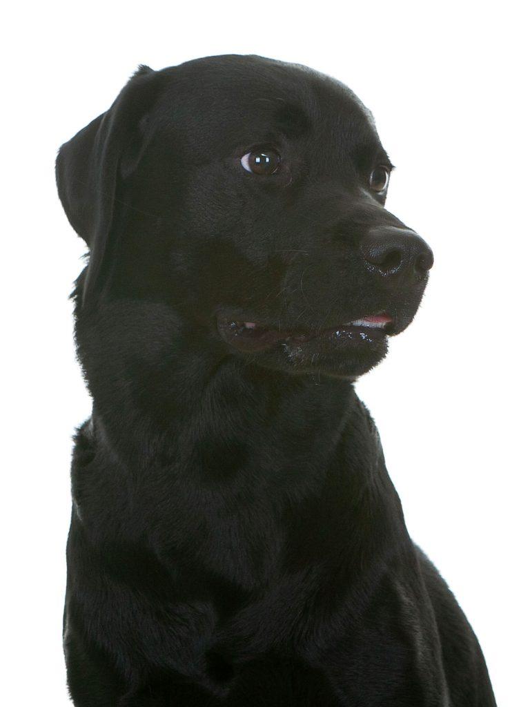 labrador cross rottweiler looking black dog