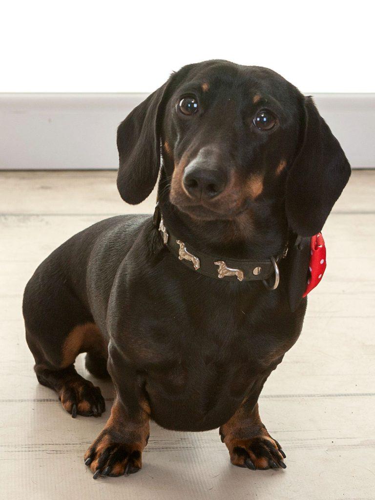 small daschund dog
