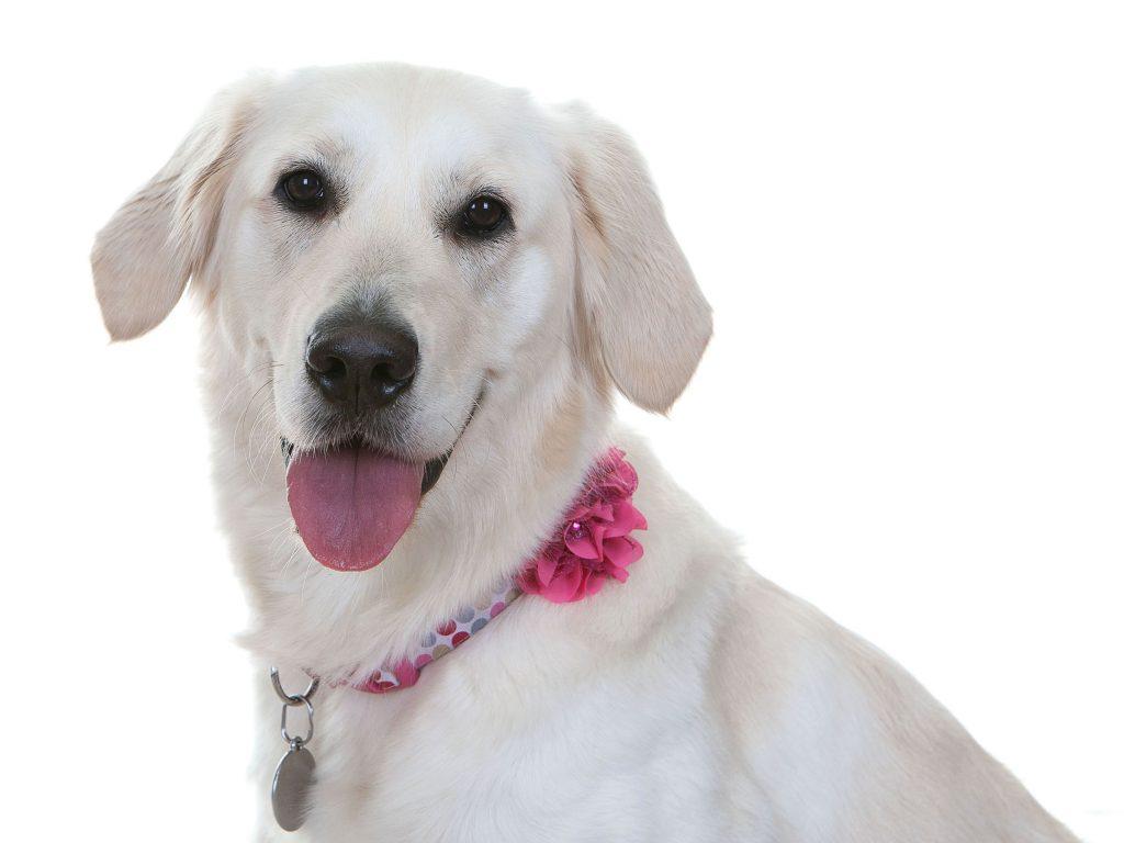labrador with pink flower collar looking into studio camera