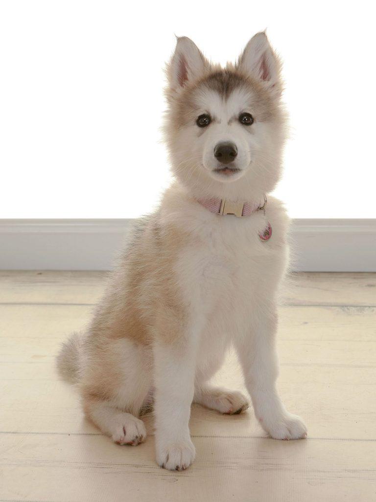 small husky puppy