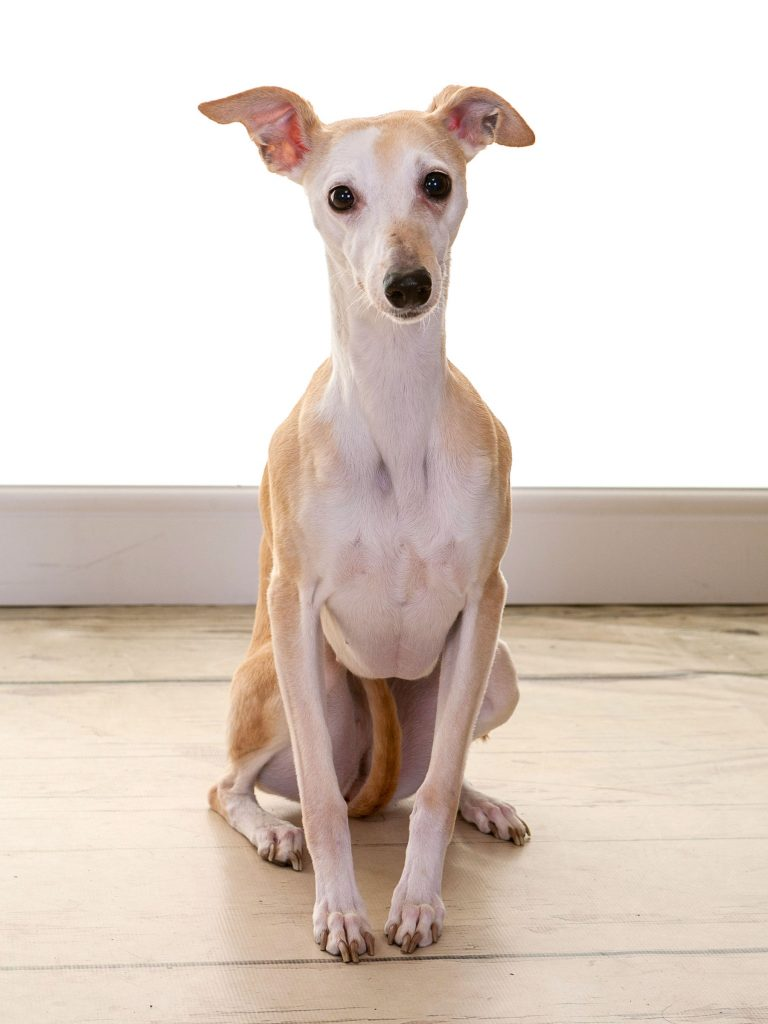 Whippet enjoying a photoshoot looking a little shy