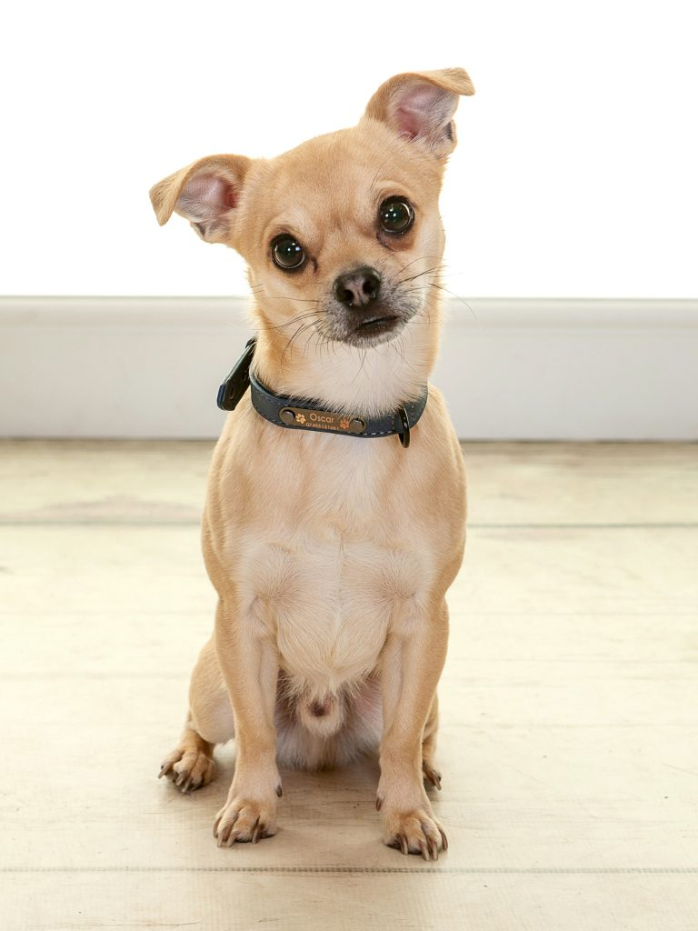 chihuahua having a photoshoot in North East England