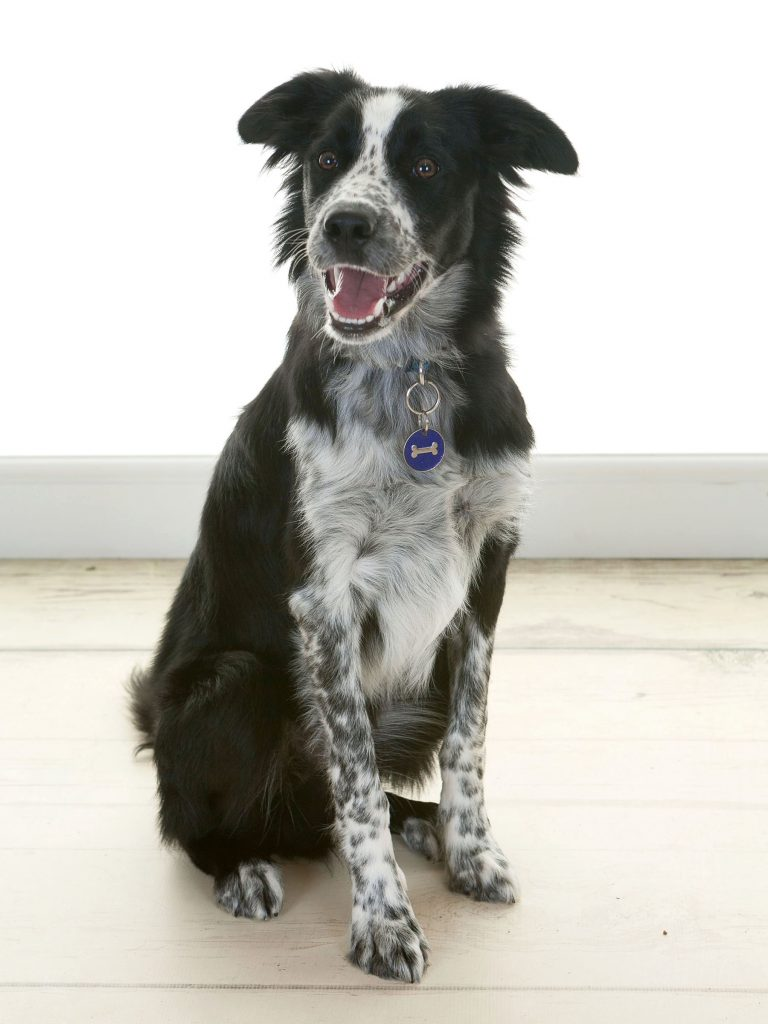 large black and white collie having a photoshoot in Newcastle