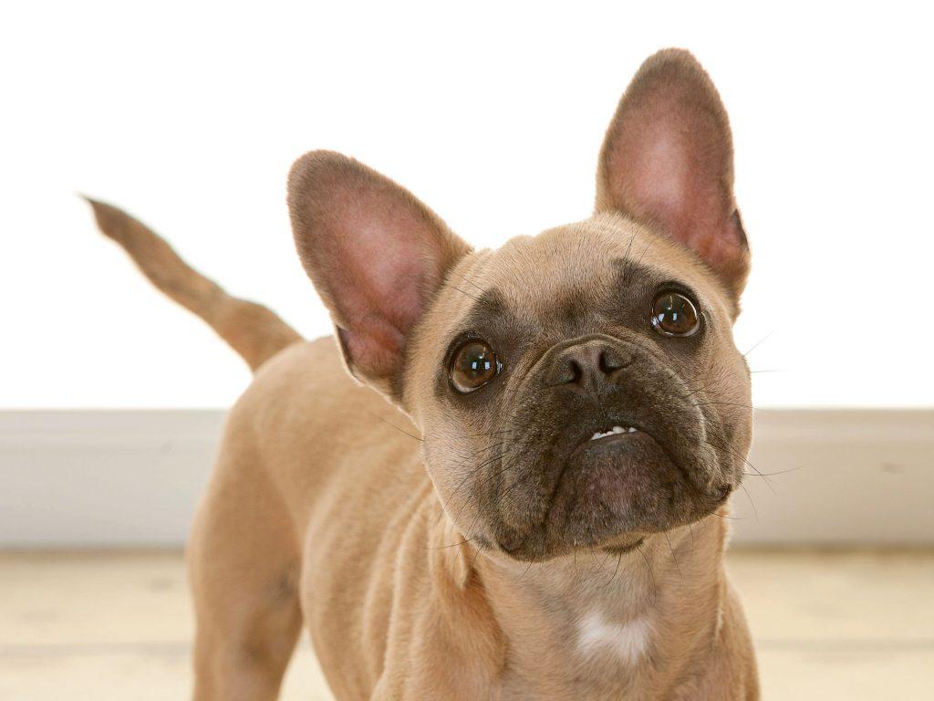 close up of a little pug dog Peanut