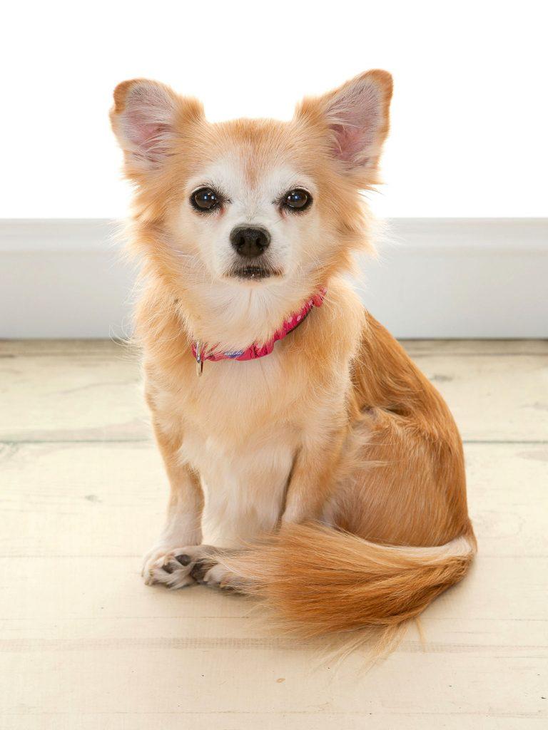 small chihuahua looking like a fox