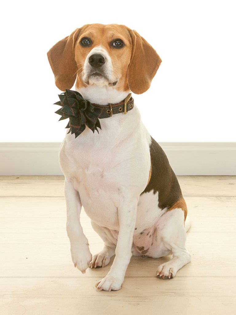 beagle with a large bow