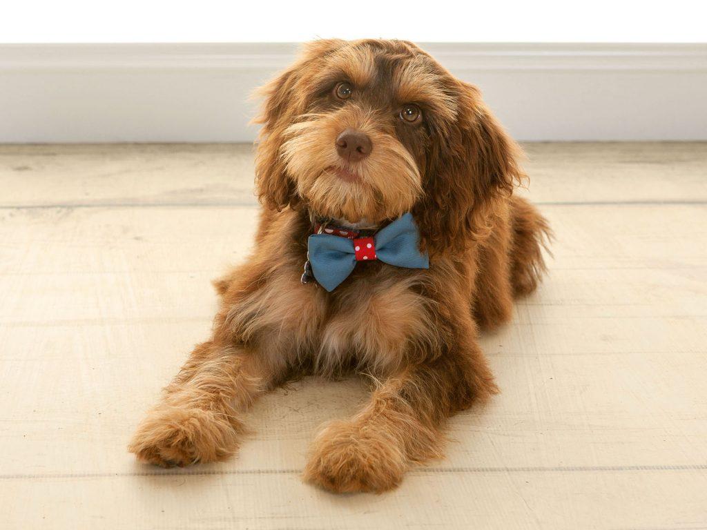 blue bowtie worn by a fluffy puppy