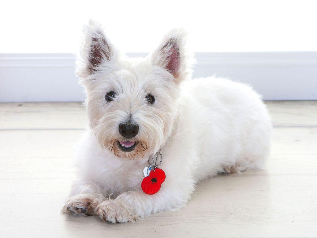 White fluffy dog called Poppy