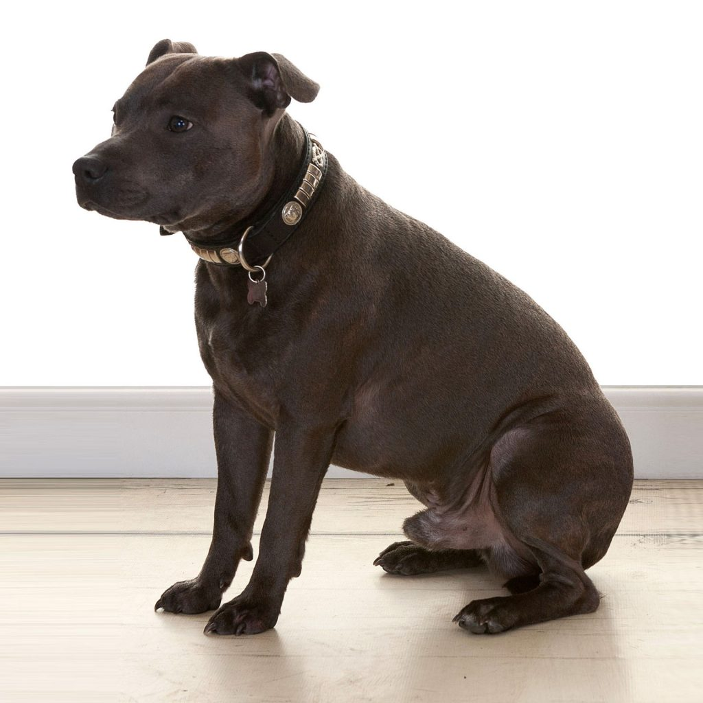 staffie dog looking to the left