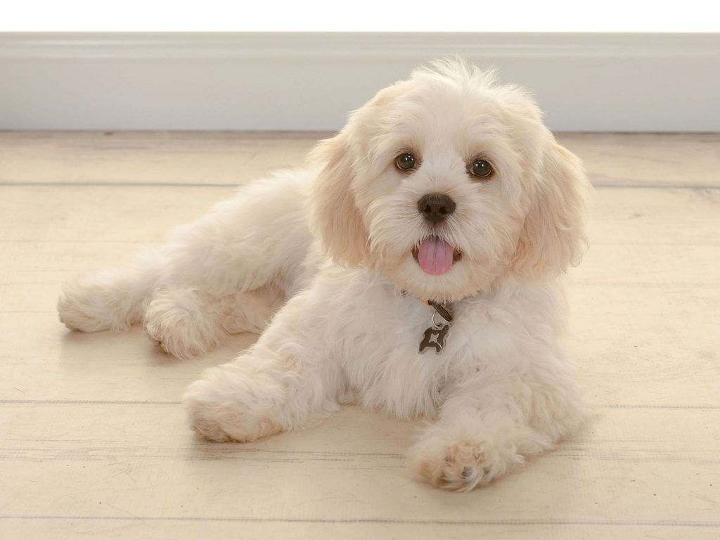 little fluffy white dog sticking tongue out