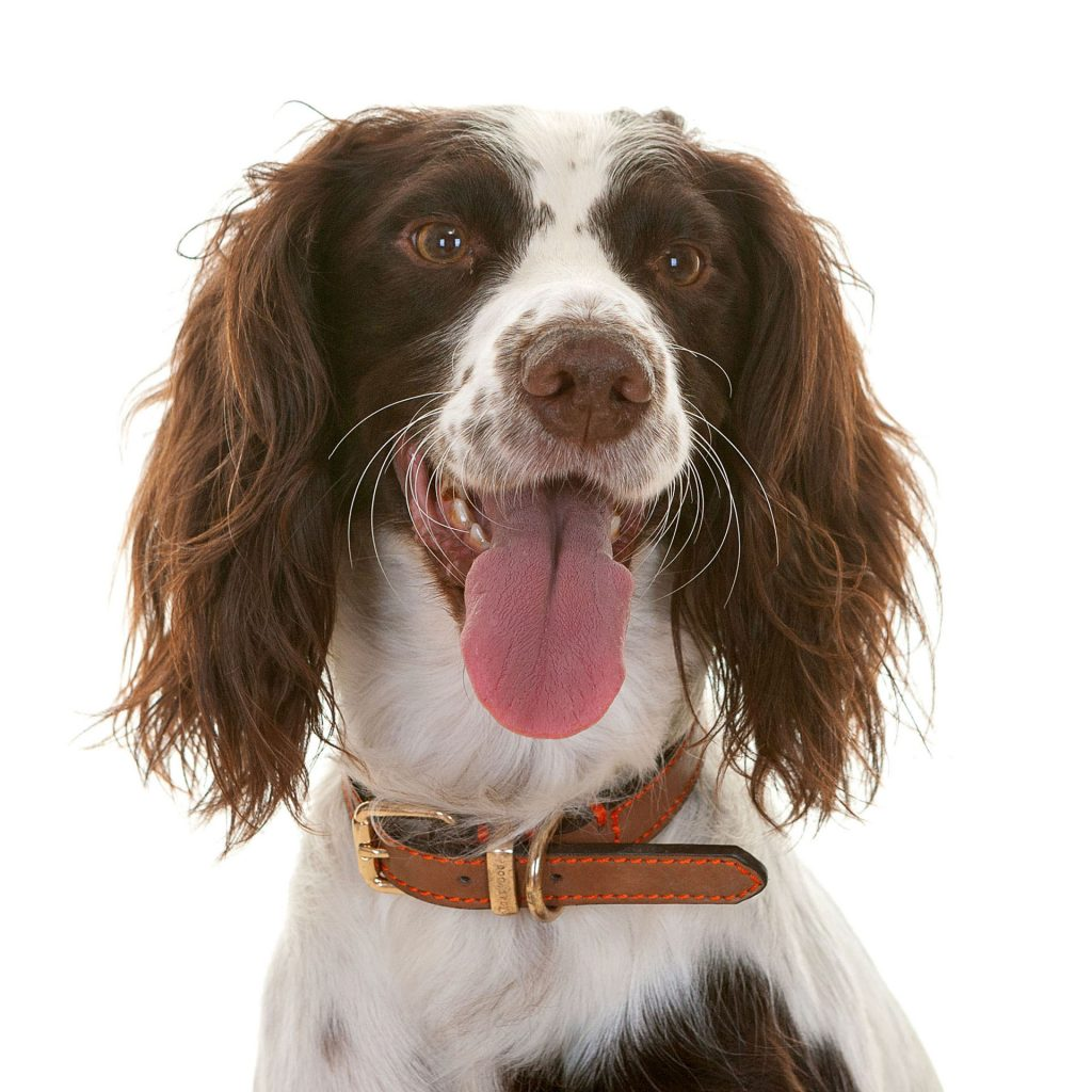 Springer Spaniel sticking their tongue out at the camera