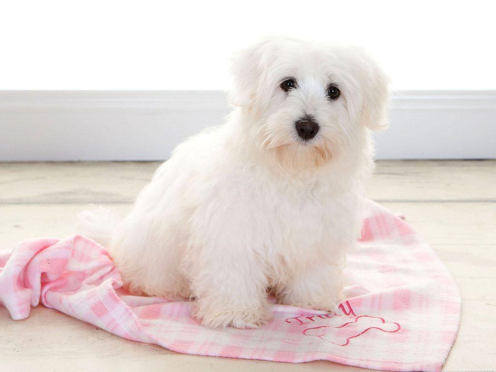 fluffy white little puppy
