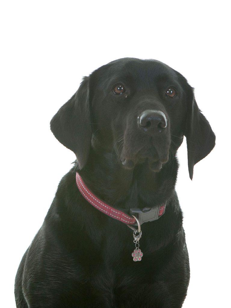 black labrador in his professional photoshoot collar