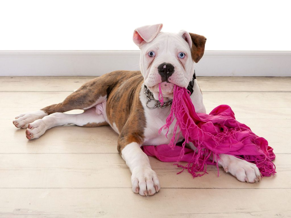 Gorgeous bulldog puppy chewing on a scarf