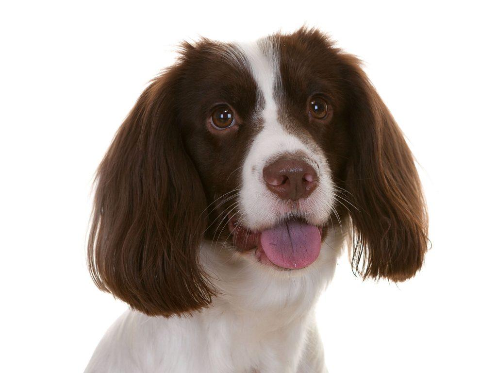 puppy spaniel dog Bella