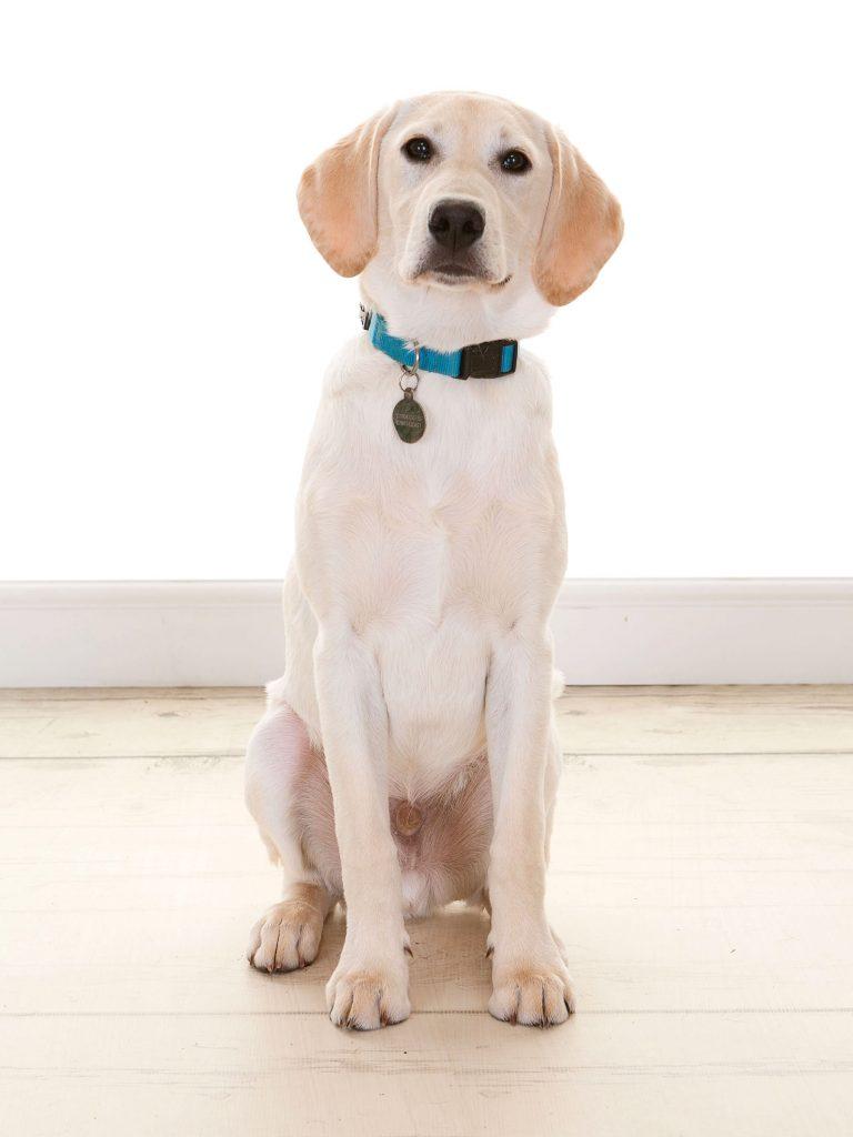 puppy labrador enjoying a professional dog photoshoot in Newcastle