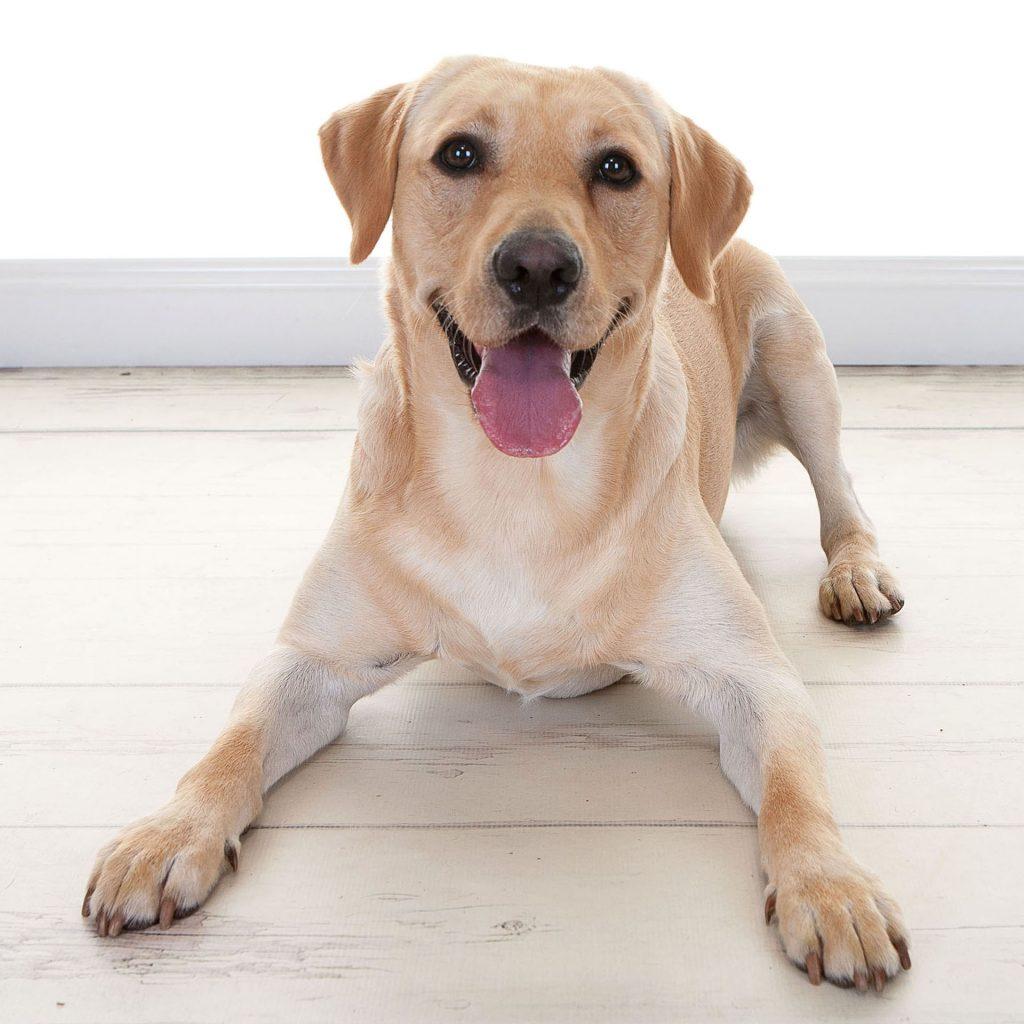golden coloured labrador