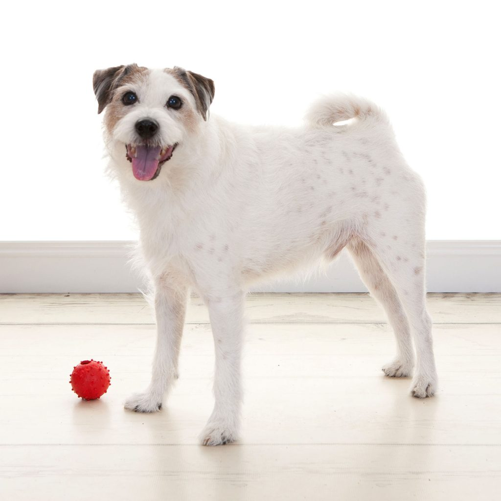 little terrier dog stood next to his red ball
