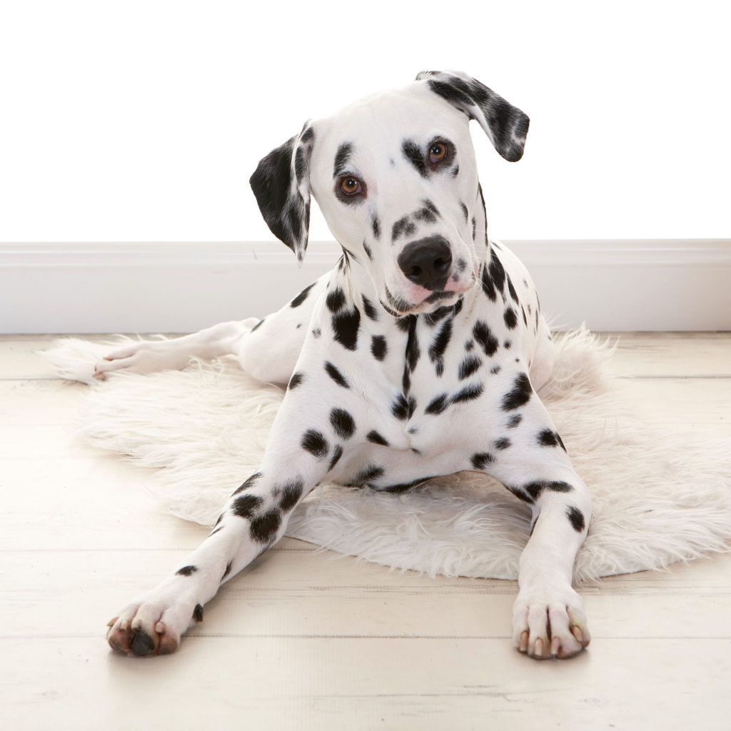 dalmatian puppy staring intensely into the camera