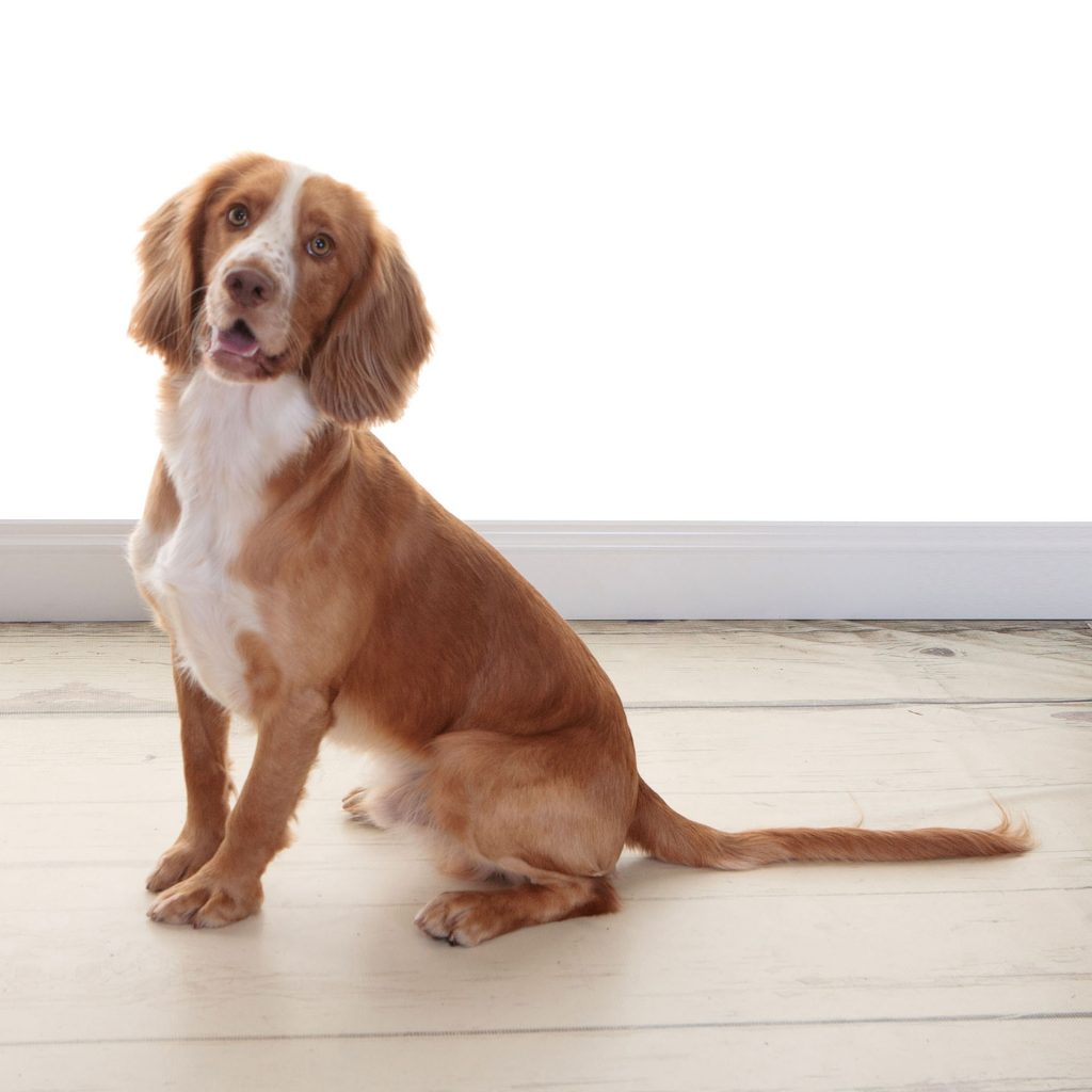 Spaniel dog looking very alert into the camera
