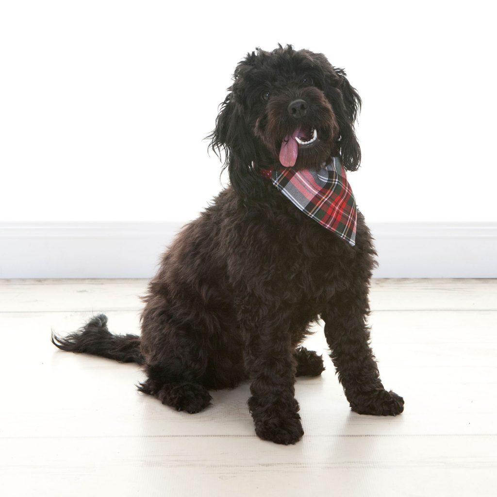Teddy bear dog with a tartan scarf on