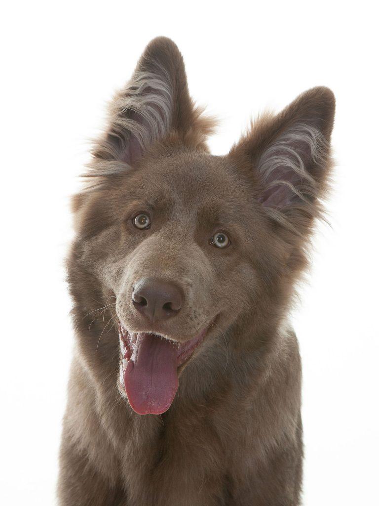 Cree Byrne gorgeous brown german shephard