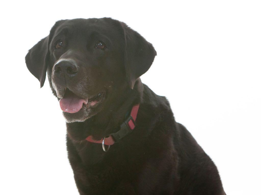 Maggie Nuttall black labrador begging