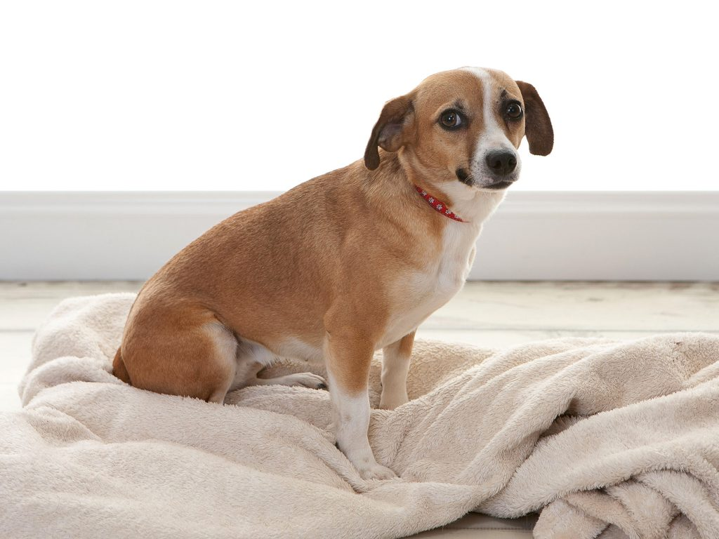 Rosa Nuttall little dog sat on a blanket